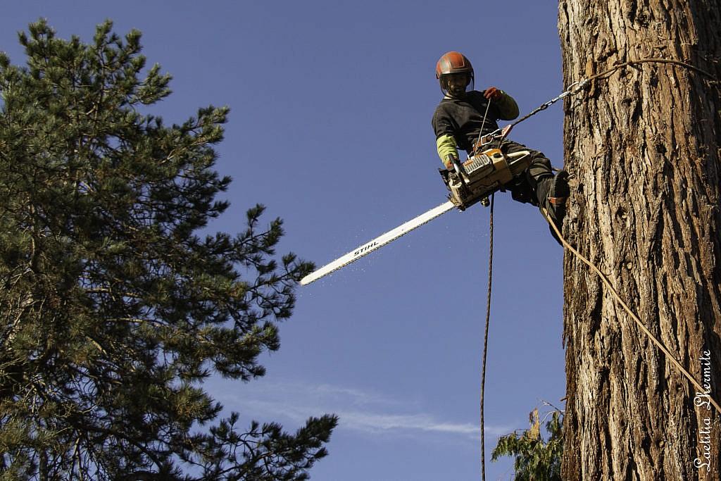 Homme avec tronconneuse pour elagage sequoia geant