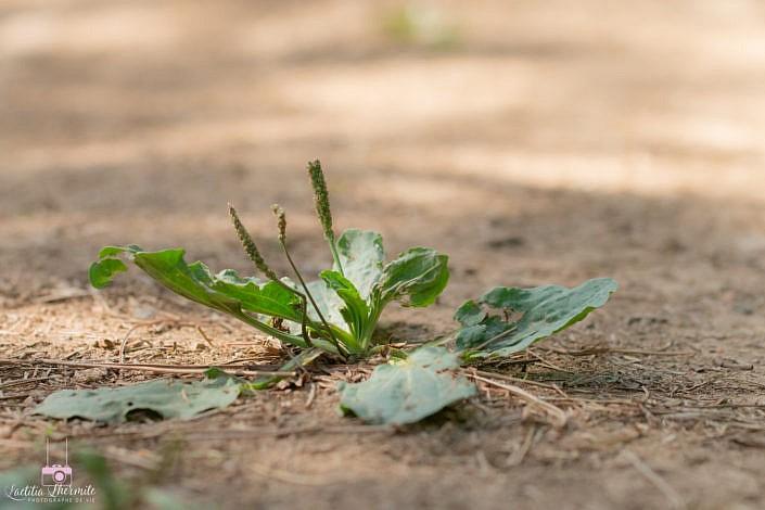 Du plantain perdu sur la route