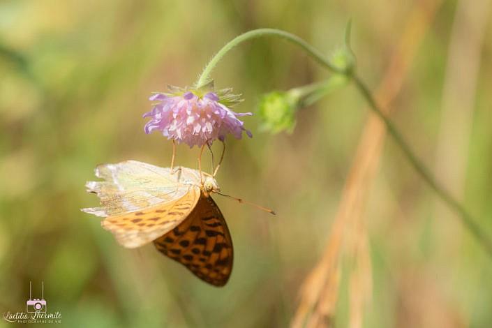 Papillon tête à l'envers