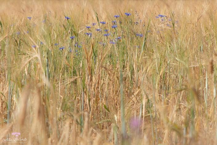 champ et fleurs bleues