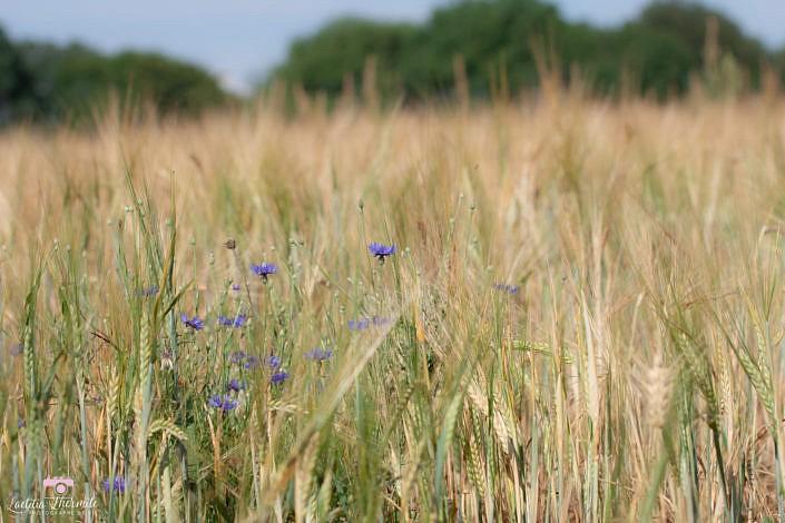 Fleurs bleues dans champ de blé