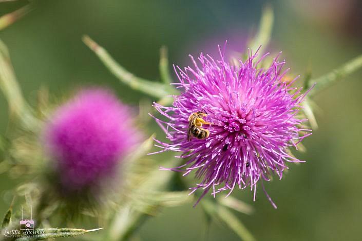 Abeille butinant jolie fleur